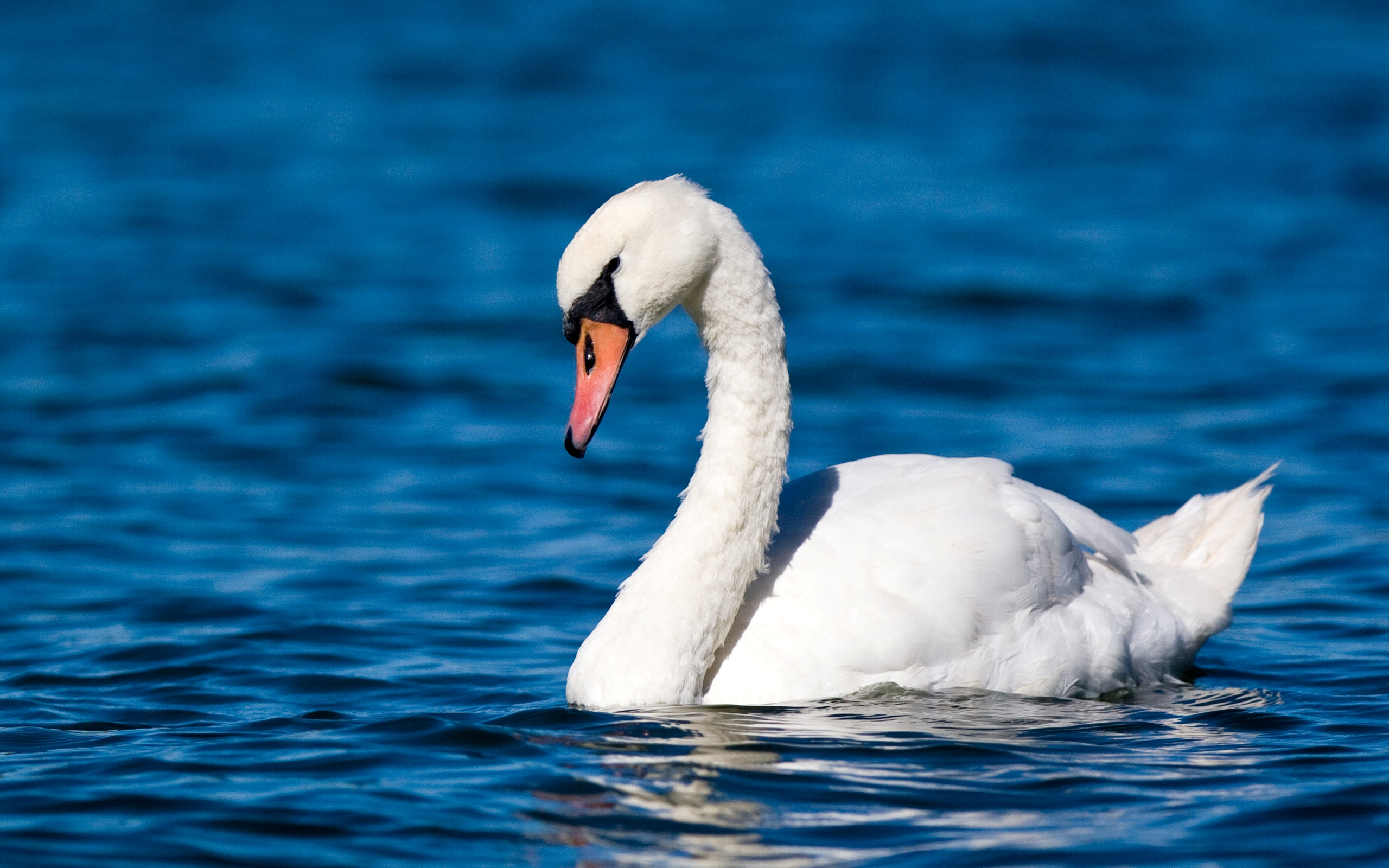 20 Wonderful HD Swan Bird Wallpapers - HDWallSource.com
