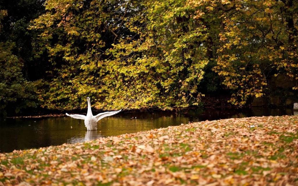 swan-wallpaper-28070-28792-hd-wallpapers