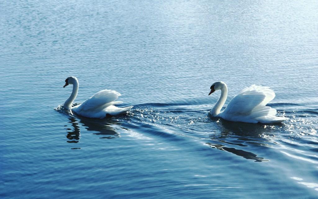 swan-wallpaper-47119-48635-hd-wallpapers