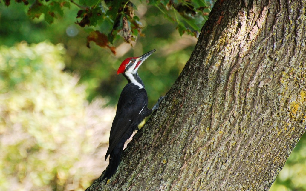 woodpecker-pictures-39723-40642-hd-wallpapers