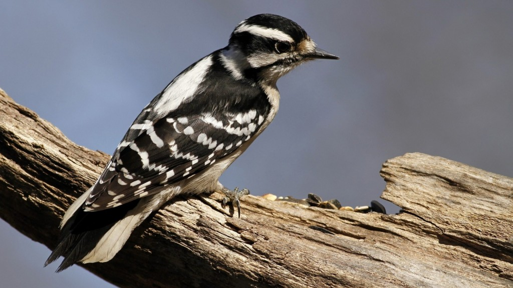 woodpecker-wallpaper-39717-40636-hd-wallpapers