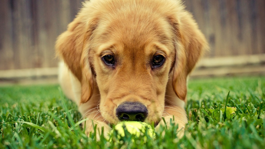 adorable golden retriever wallpapers