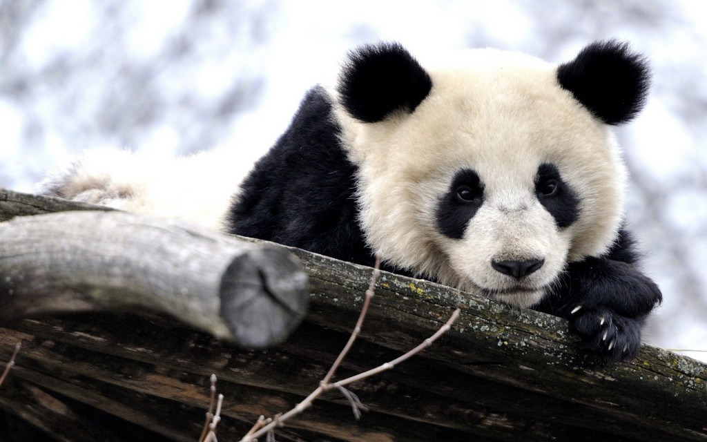 adorable panda wallpapers
