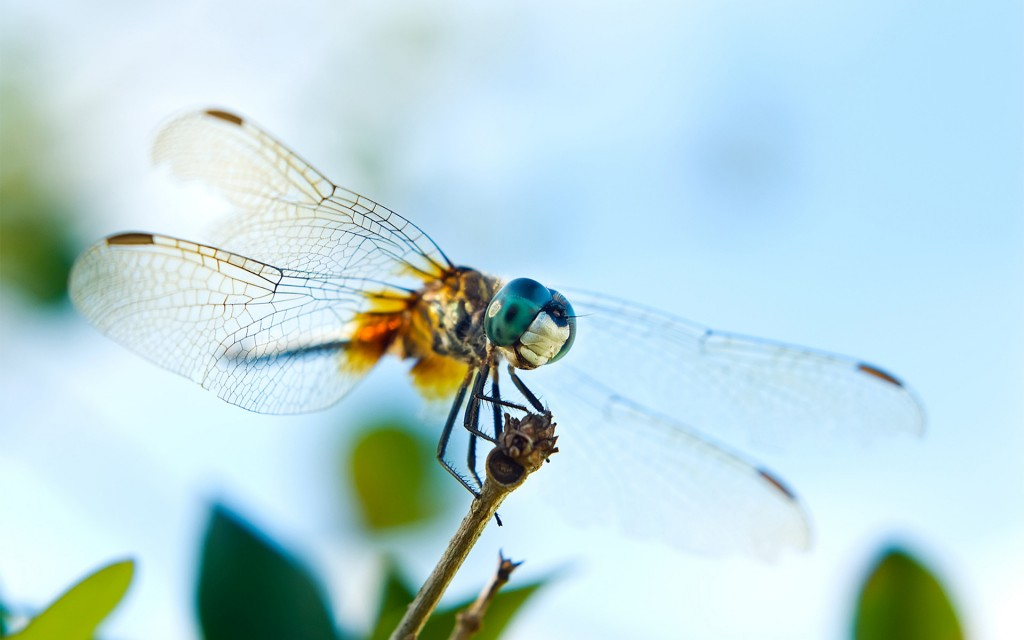 awesome-dragonfly-wallpaper-39236-40141-hd-wallpapers