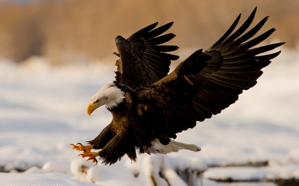 17 HD Eagle Bird Wallpapers - HDWallSource.com