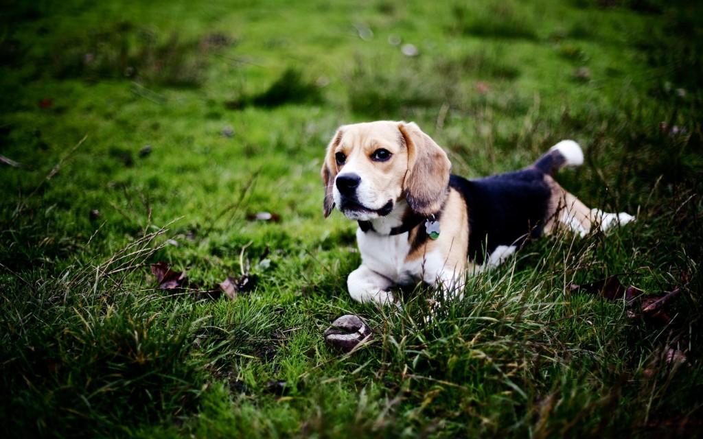beagle-dog-computer-wallpaper-50047-51734-hd-wallpapers