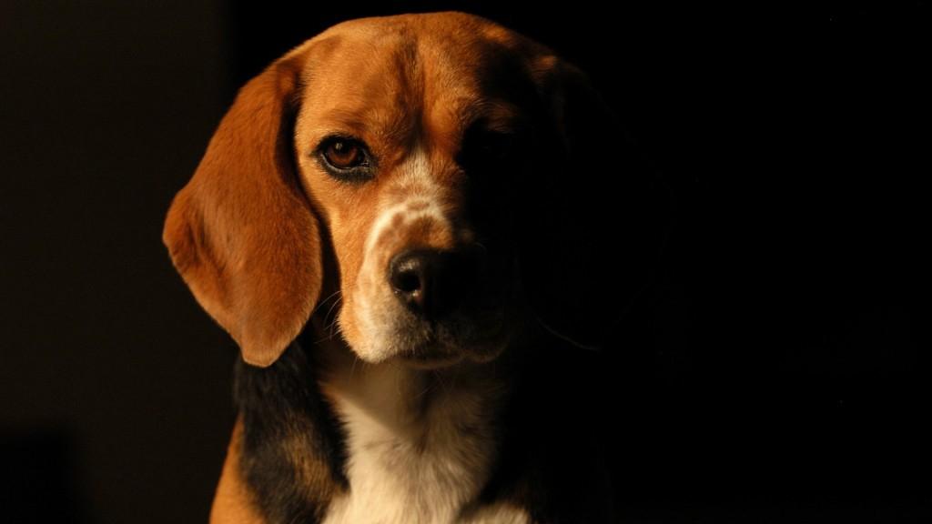 beagle-dog-desktop-wallpaper-50050-51737-hd-wallpapers