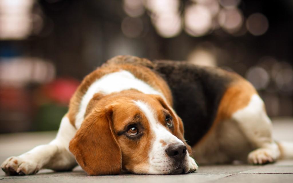 beagle dog wallpapers