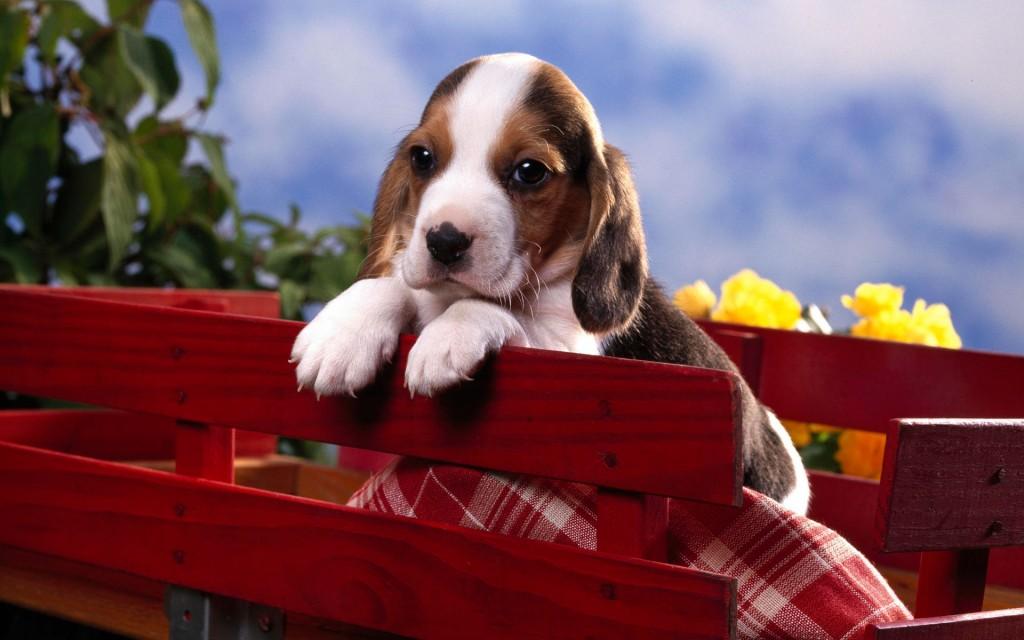 beagle-wallpaper-4233-4278-hd-wallpapers
