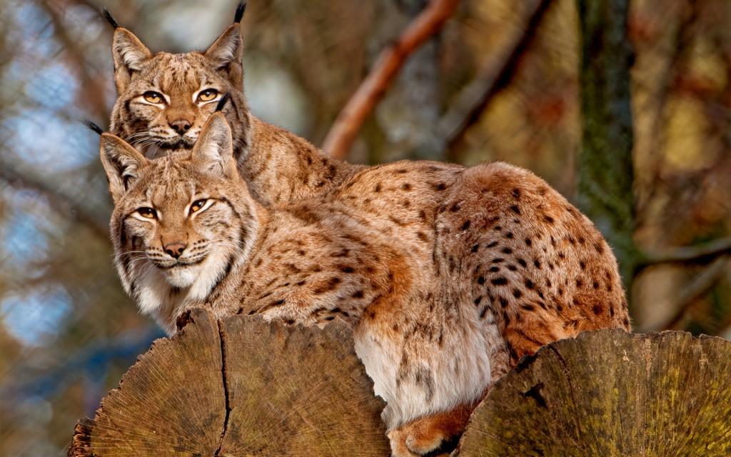 beautiful-lynx-wallpaper-38490-39368-hd-wallpapers
