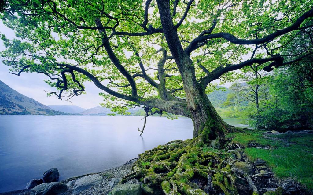 Oak Tree by Ullswater Lake