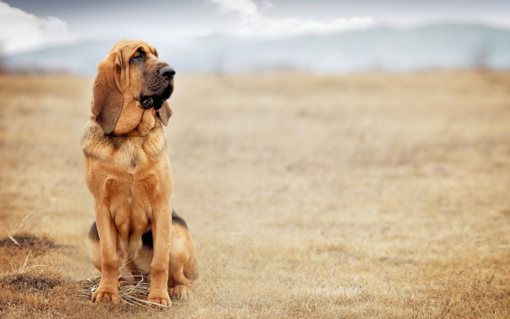 bloodhound dog wallpapers