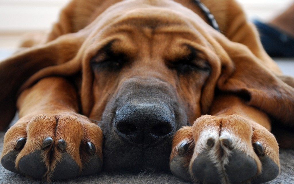 bloodhound-dog-sleeping-wallpaper-49484-51158-hd-wallpapers