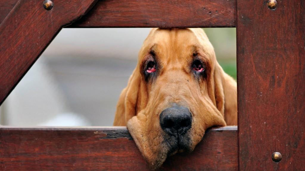 bloodhound-wallpaper-38609-39491-hd-wallpapers