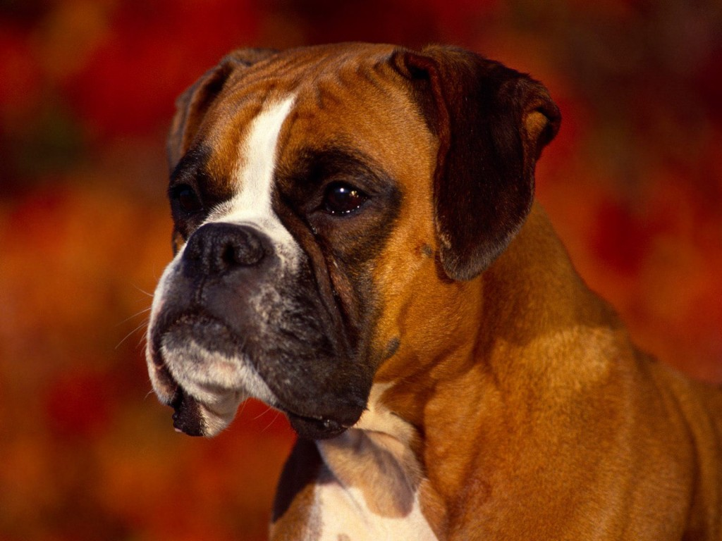 boxer-dog-computer-wallpaper-49559-51234-hd-wallpapers