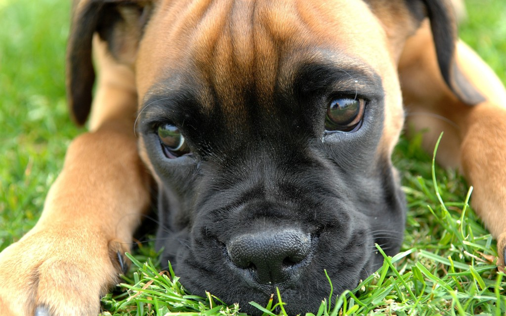 boxer-dog-up-close-wallpaper-background-49556-51231-hd-wallpapers