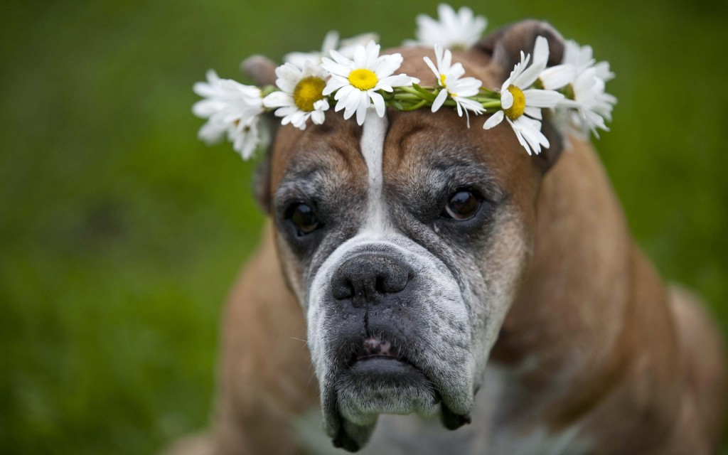 boxer-dog-wallpaper-background-49554-51229-hd-wallpapers