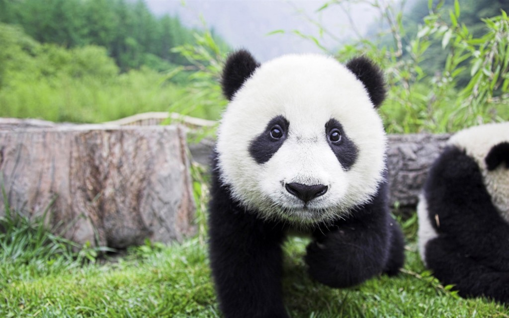 cute-panda-wallpaper-15788-16271-hd-wallpapers
