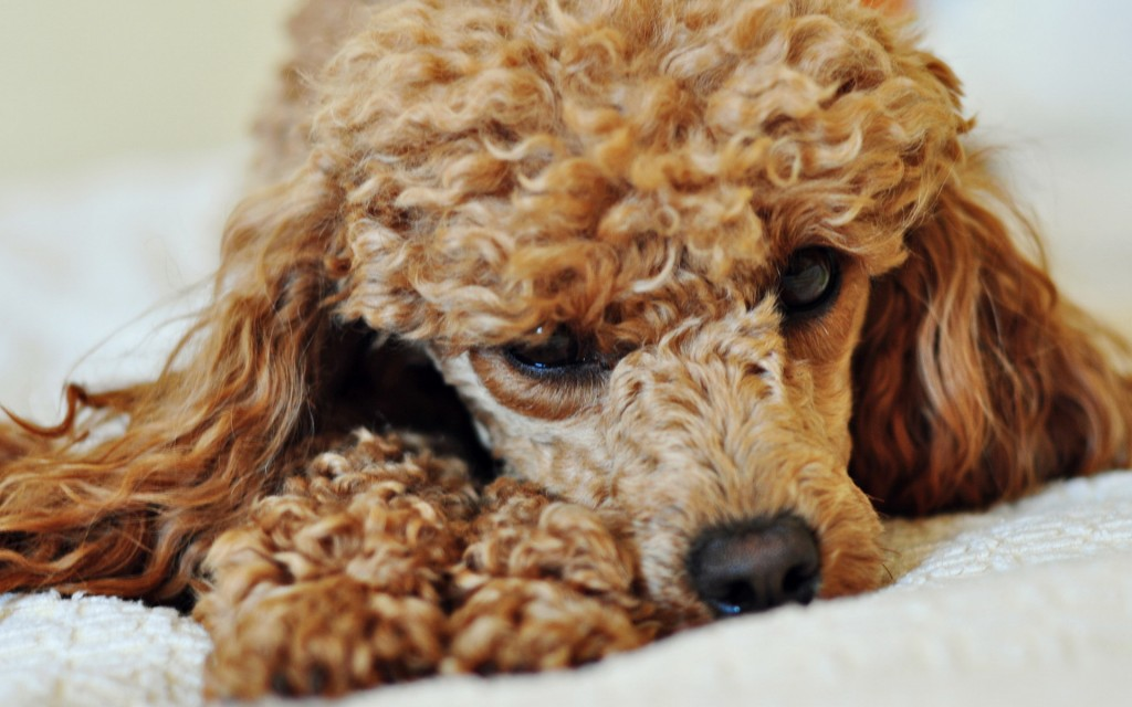 cute-poodle-wallpaper-23867-24523-hd-wallpapers