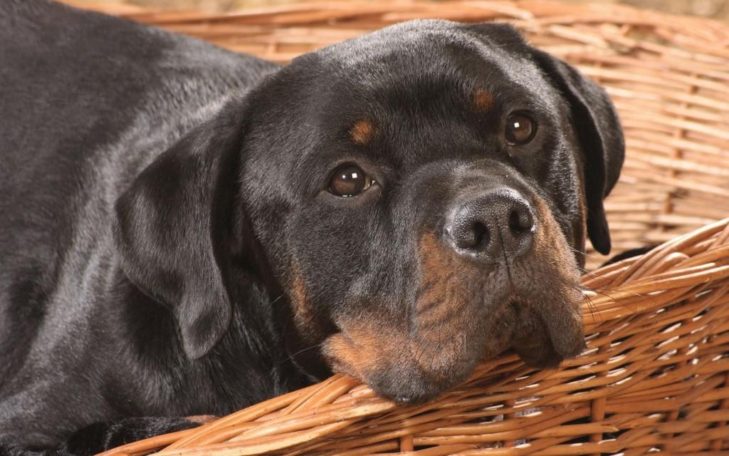 cute-rottweiler-wallpaper-38272-39147-hd-wallpapers