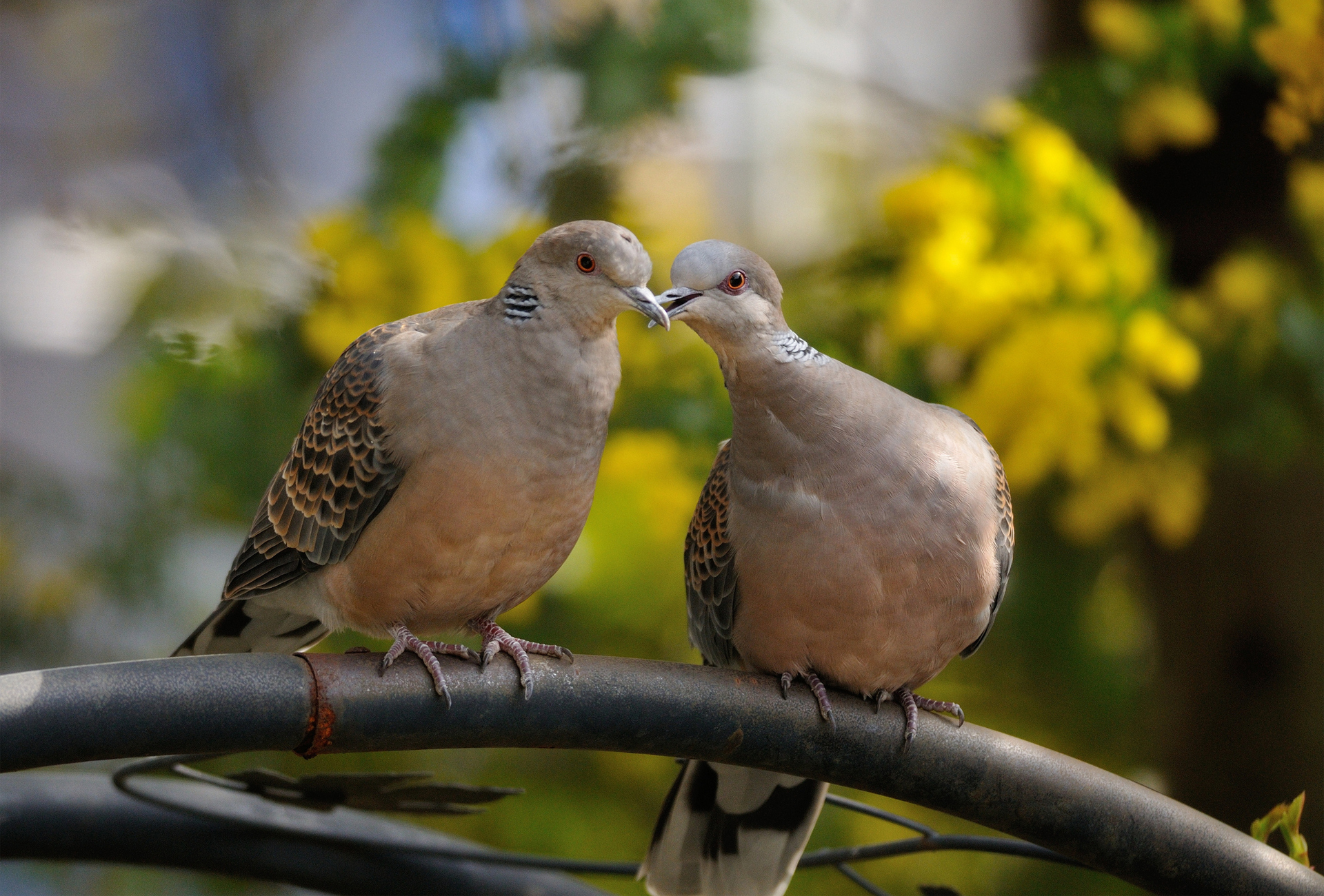 12 Lovely HD Dove Bird Wallpapers
