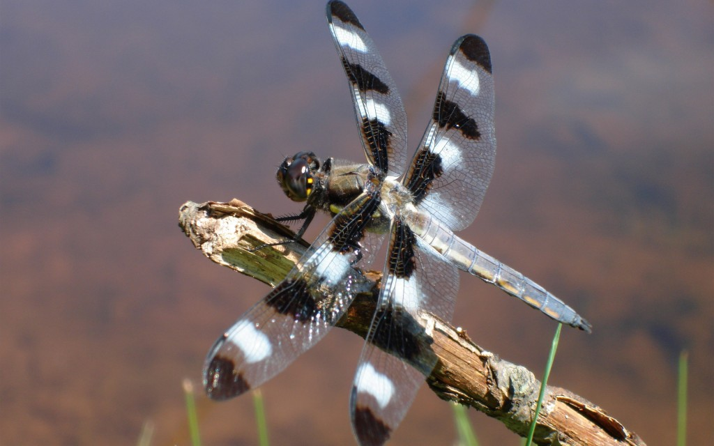 dragonfly-animal-wallpaper-background-49534-51209-hd-wallpapers