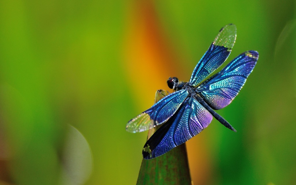 dragonfly-desktop-wallpaper-49544-51219-hd-wallpapers