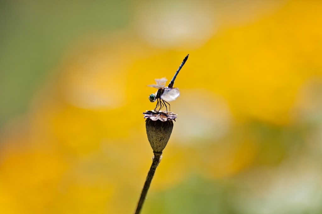 dragonfly-photography-wallpaper-49541-51216-hd-wallpapers