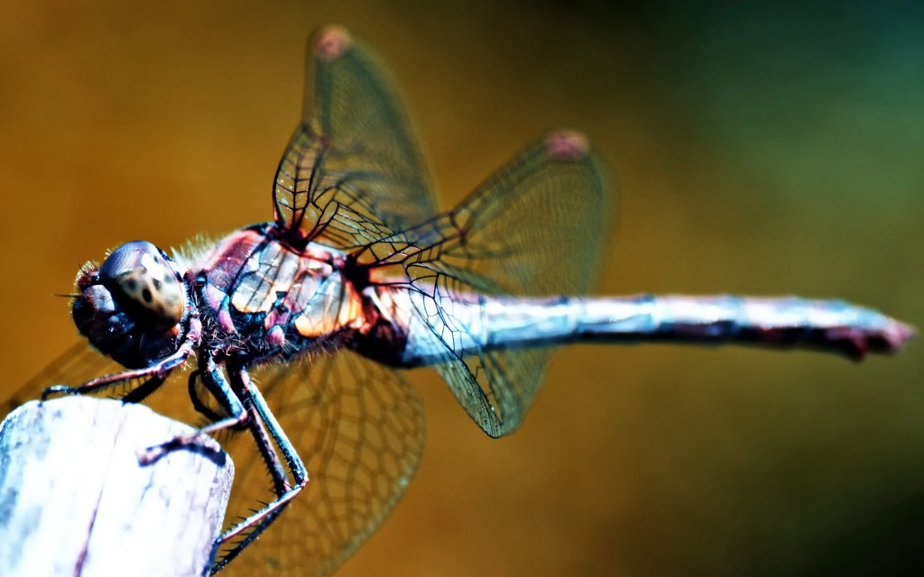 dragonfly-wallpaper-39232-40137-hd-wallpapers