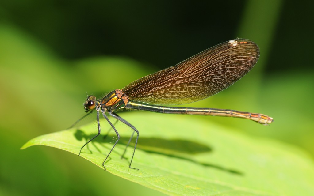 dragonfly-wallpaper-background-49543-51218-hd-wallpapers