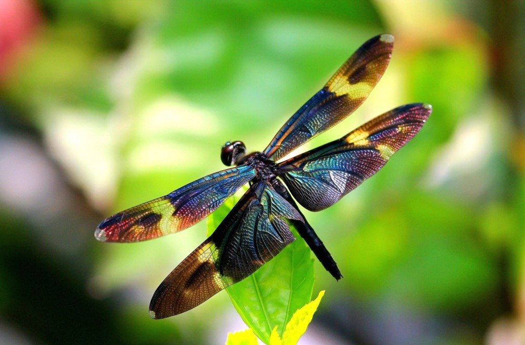 dragonfly-wallpaper-hd-49540-51215-hd-wallpapers