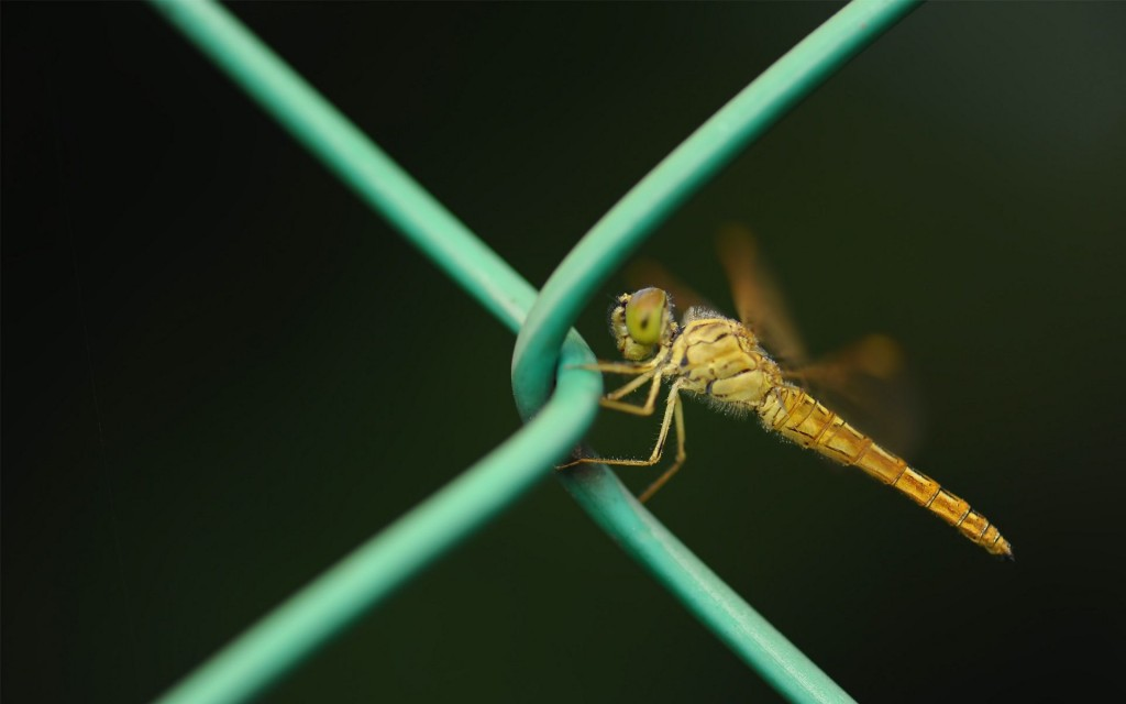 dragonfly-wallpaper-pictures-49536-51211-hd-wallpapers