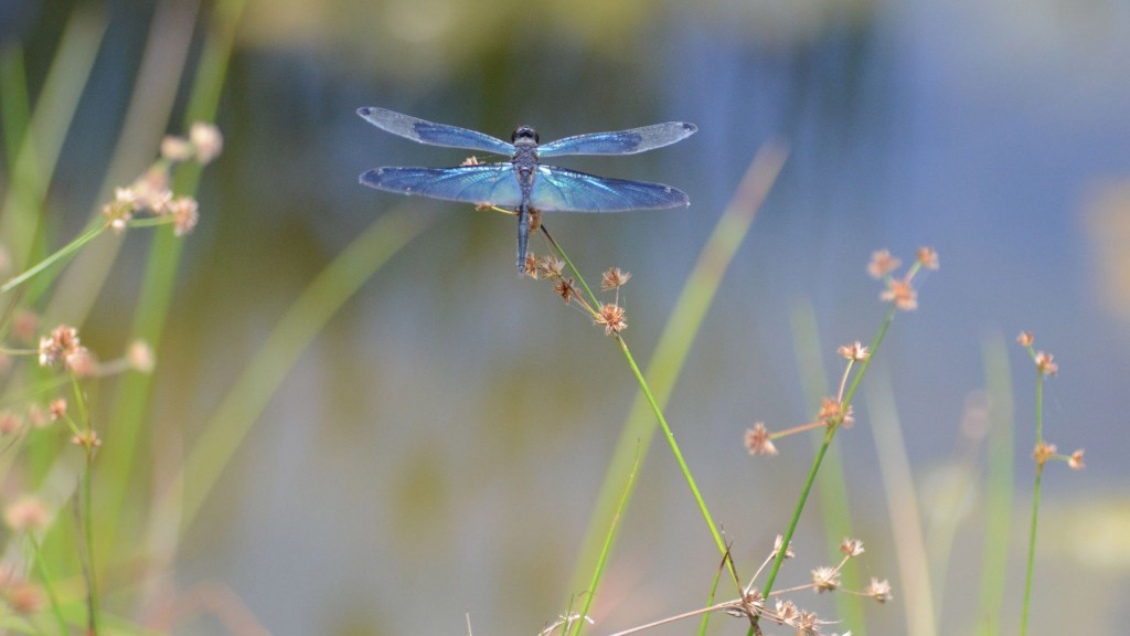 dragonfly-wide-wallpaper-49547-51222-hd-wallpapers
