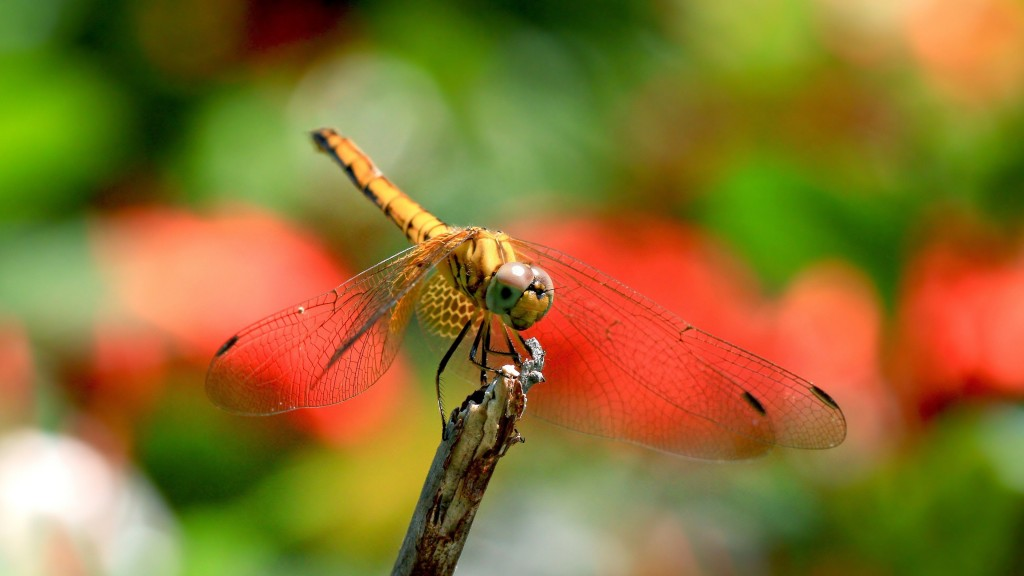 dragonfly-widescreen-wallpaper-49542-51217-hd-wallpapers