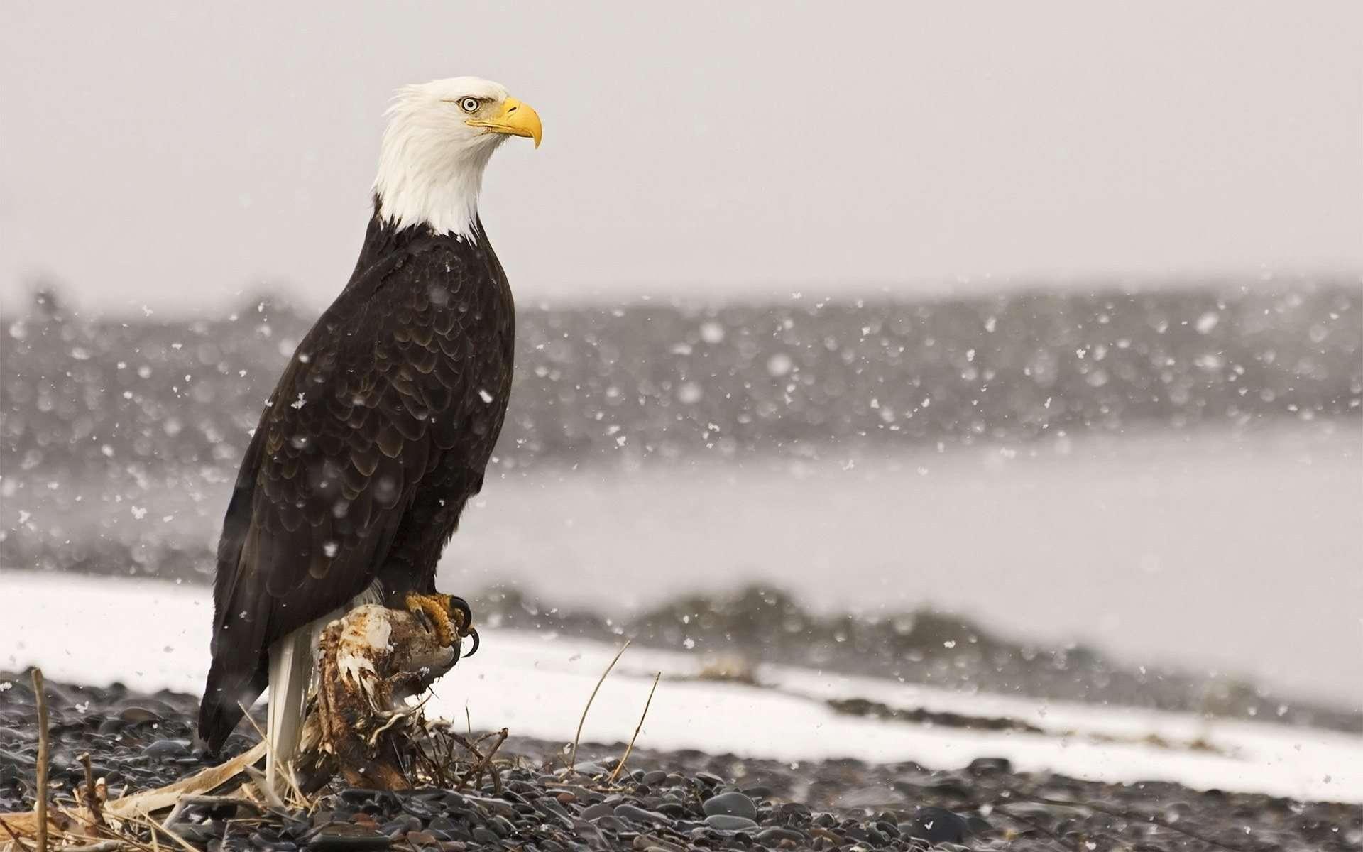 17 HD Eagle Bird Wallpapers HDWallSourcecom