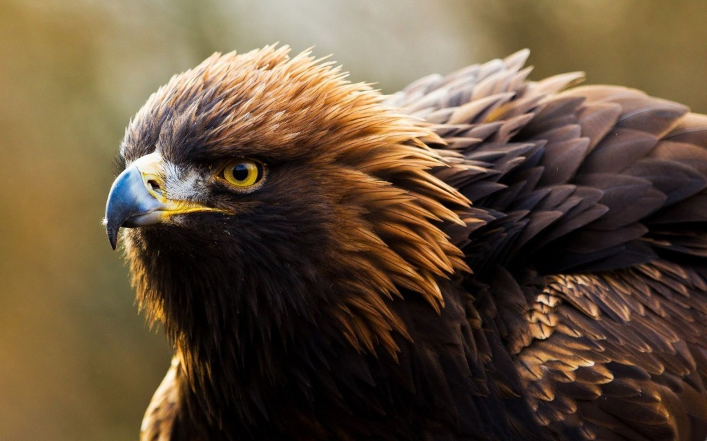 eagle-wallpaper-42012-43002-hd-wallpapers