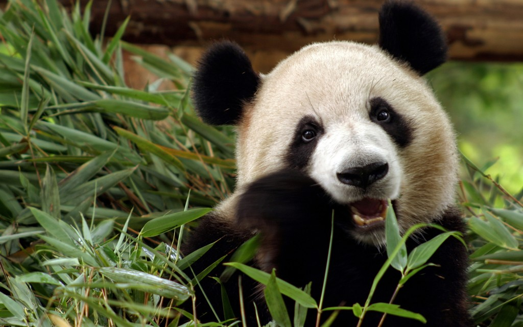 fantastic-panda-wallpaper-41786-42768-hd-wallpapers