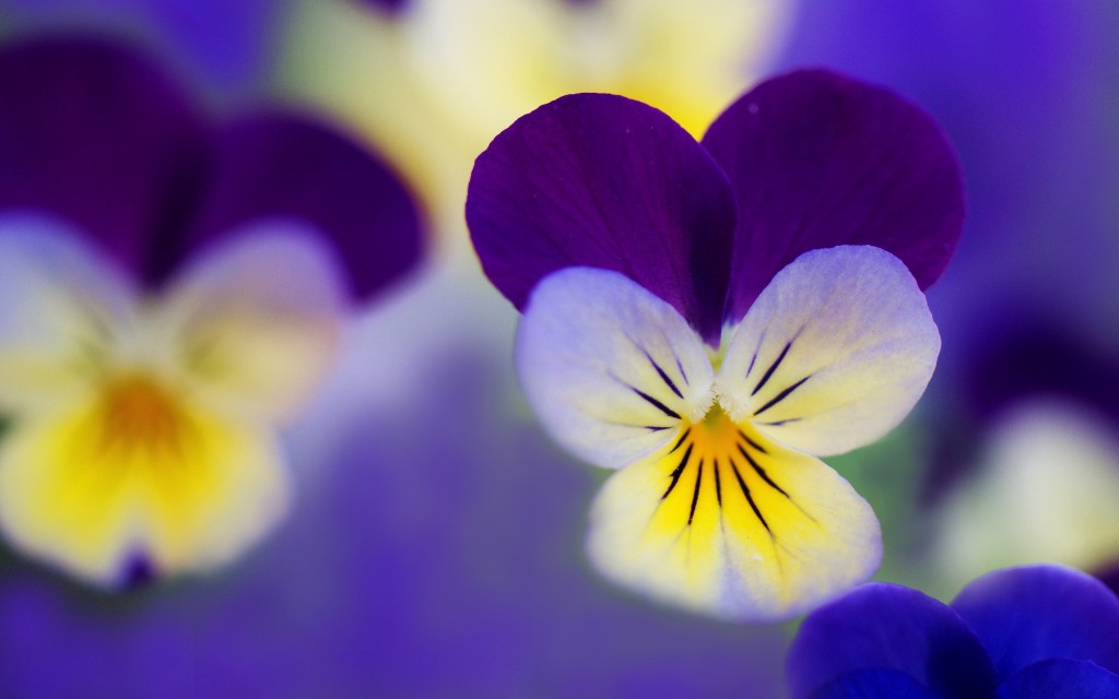 free-pansies-wallpaper-31066-31798-hd-wallpapers