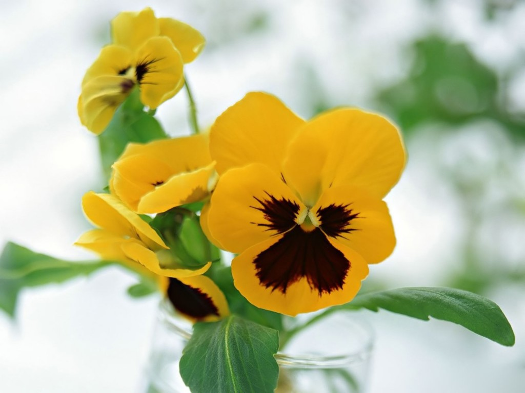 free-pansy-flowers-wallpaper-43229-44261-hd-wallpapers