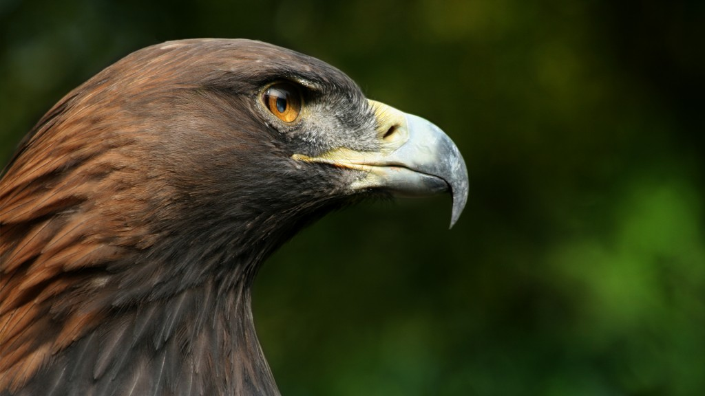 golden-eagle-close-up-wallpaper-44519-45646-hd-wallpapers