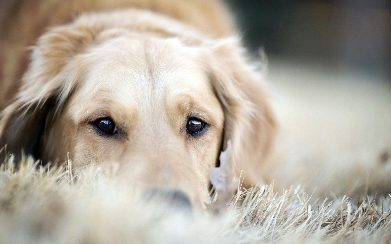 30 HD Golden Retriever Dog Wallpapers