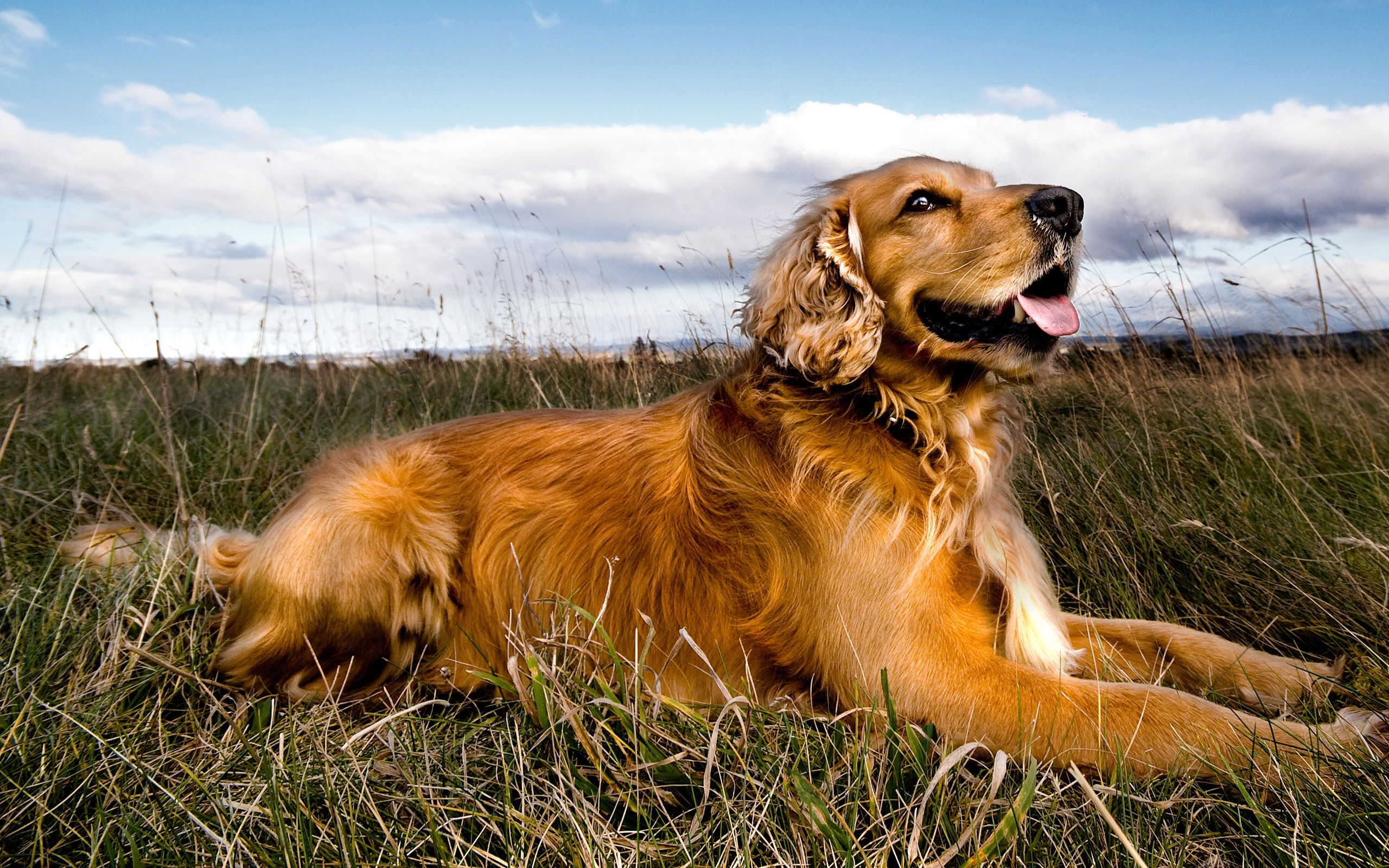 golden retriever puppy wallpapers - photo #25