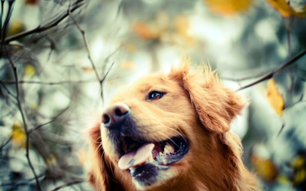 golden retriever puppy wallpapers - photo #24