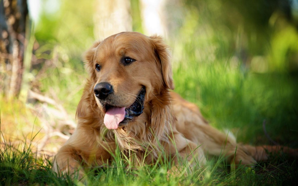 golden retriever dog pictures wallpapers