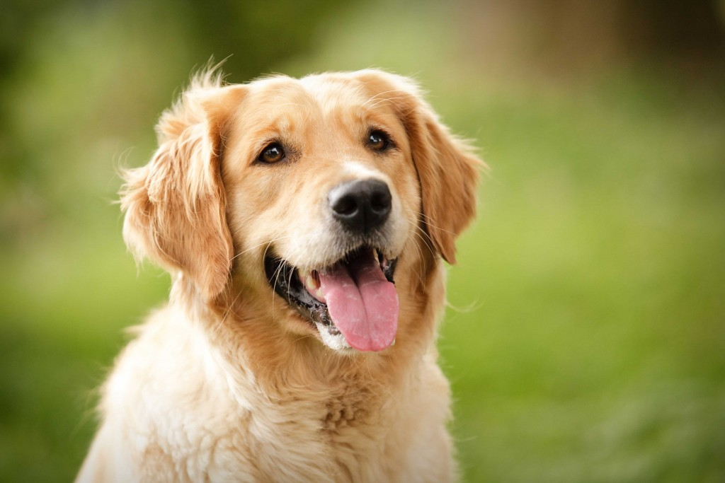 golden retriever dog widescreen wallpapers