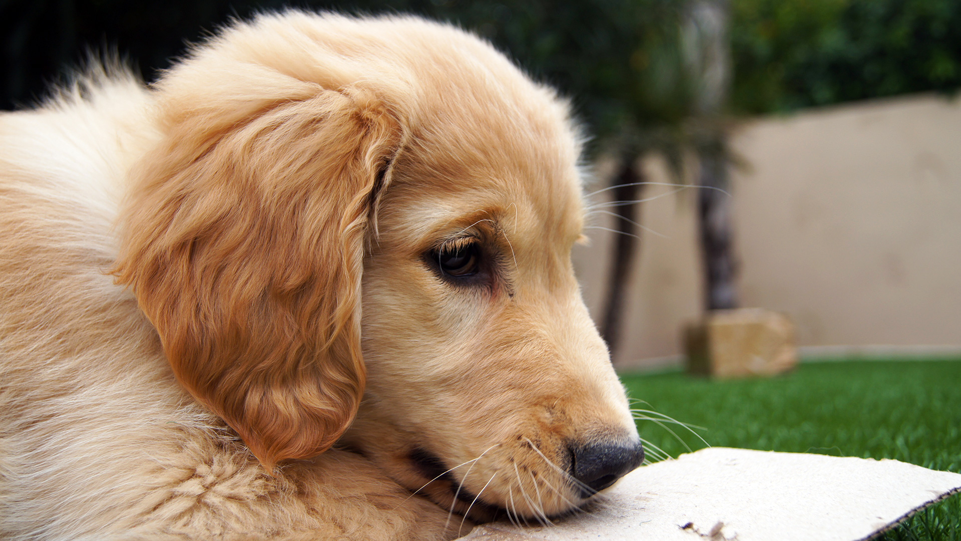 golden retriever puppy wallpapers - photo #5