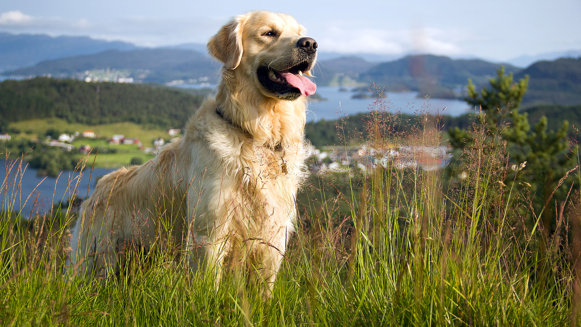 golden retriever puppy wallpapers - photo #19
