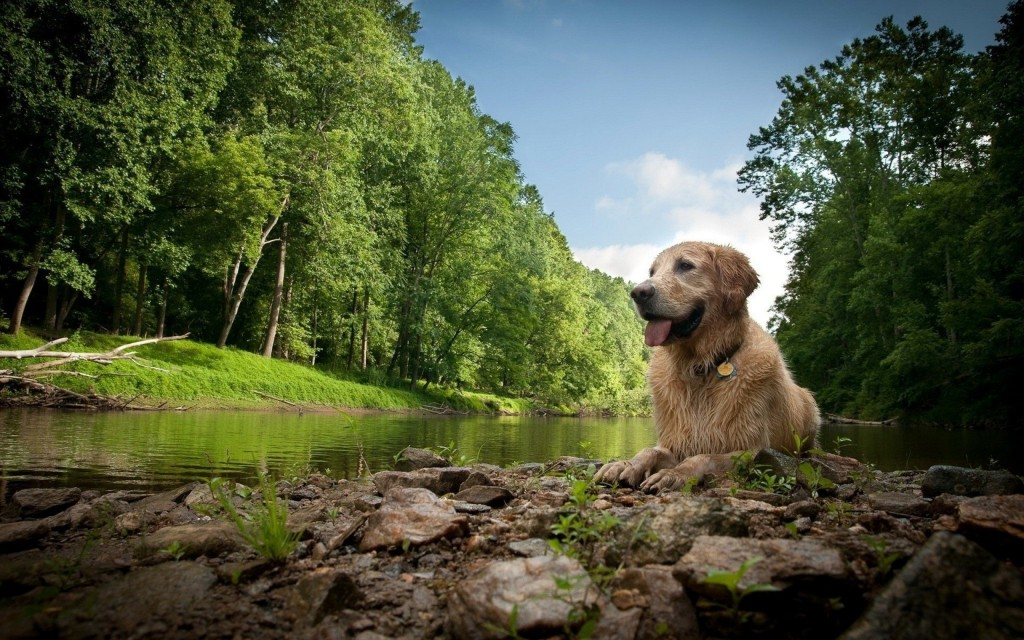 golden retriever widescreen wallpapers