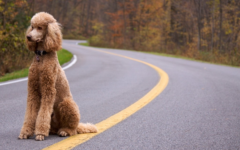 hd-poodle-wallpaper-23871-24527-hd-wallpapers