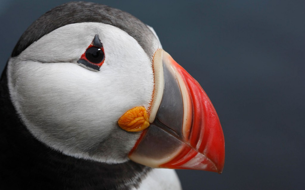 hd-puffin-wallpaper-24798-25470-hd-wallpapers